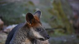 small kangaroo eating Footage
