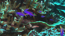 purple and yellow tuki anthias Footage