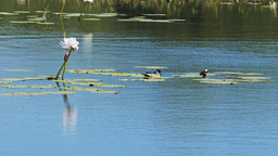 green pygmy geese on pond Footage