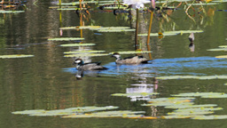 green pygmy geese Footage