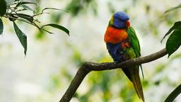 colorful Australian parrot Footage