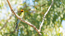 rainbow bee-eater Footage