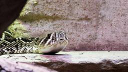 rattlesnake Footage