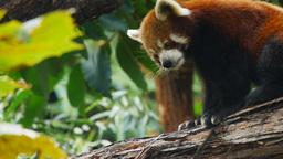 red panda scratching Footage
