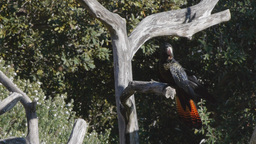 red tailed black cockatoo Footage