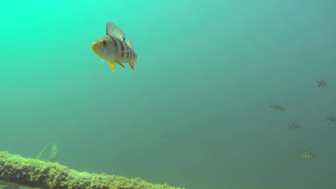 Lonely perch fish swimming near the camera Footage