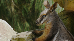 rock wallaby Footage