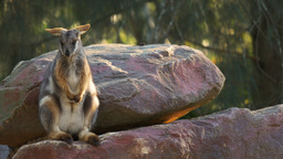 yellow-footed rock wallaby Footage