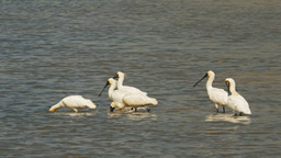 black-billed spoonbills Footage
