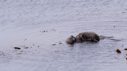 two sea otters Footage