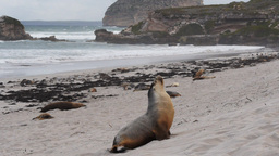male sea-lion Footage