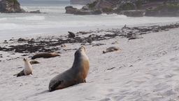 sea-lion on beach Footage
