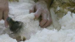 shearing a sheep Footage