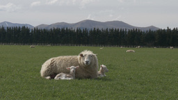 sheep with two baby lambs Footage