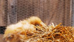 Silkie Chicken stock footage