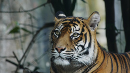 sumatran tiger Live Action