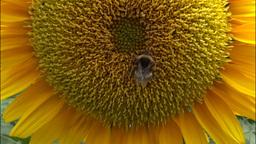 bumblebee on sunflower Footage