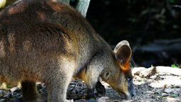 wallaby close up Footage