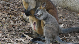 swamp wallaby and baby Footage