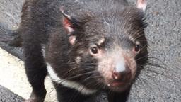 tasmanian devil Footage