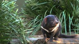 tasmanian devil sniffing air Footage