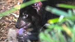 tasmanian devil feeding Live Action
