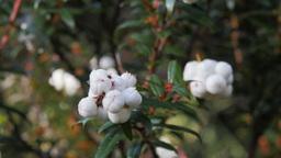 edible tasmanian snowberry Footage