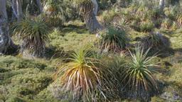 tasmanian pandani plants Footage