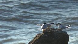 tern with fish Footage