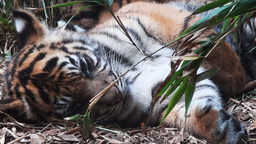 tiger cub Footage