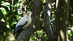 torresian imperial pigeon Footage