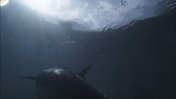 Large Tuna stock footage