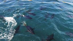 tuna farming Footage