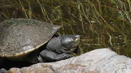 Murray River Turtle stock footage