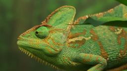 green veiled chameleon Footage