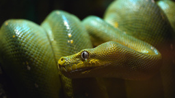 green tree python close up Live Action