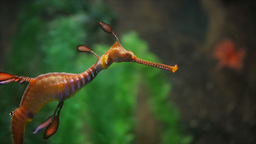 weedy sea dragon Footage