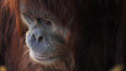 young orangutan Footage