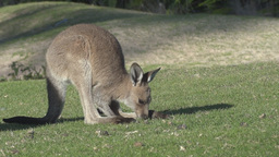 young kangaroo grazing Footage