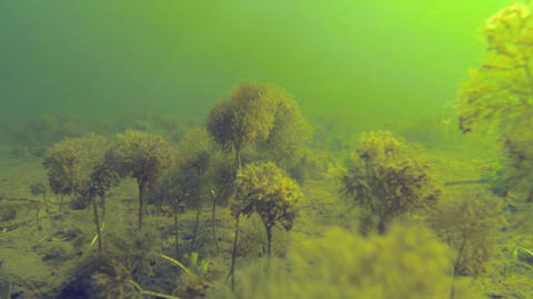 Camera moving over pond water-crowfoot aquatic plants looking like miniature tre Footage