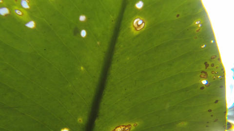 Close-up underwater shot of the underside of a floating water lily leaf Footage