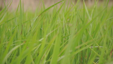 Green sedge grass sways in the wind Footage