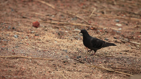 bird dove Stock Video Footage