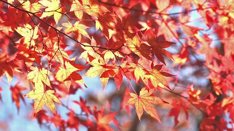 Autumn Leaves in Momiji mountain,Yamanashi,Japan Stock Video Footage