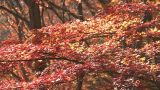 Autumn Leaves in Momiji mountain,Yamanashi,Japan Footage