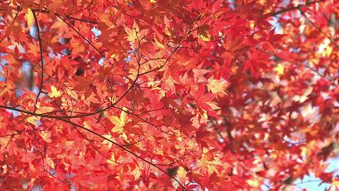 Autumn Leaves in Momiji mountain,Yamanashi,Japan ライブ動画