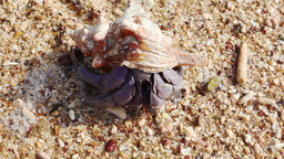 Hermit Crab Stock Video Footage
