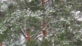 Snowfall in Forest Footage