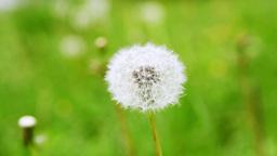 Dandelion in Garden Stock Video Footage