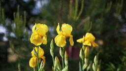 Irises in Garden Stock Video Footage